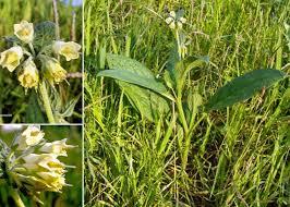 Symphytum bulbosum K.F.Schimp. - Portale sulla flora del basso ...