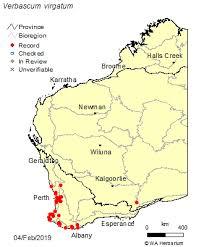 Verbascum virgatum Stokes: FloraBase: Flora of Western Australia