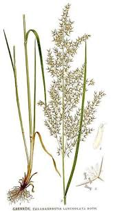 Purple Small-Reed (Calamagrostis canescens) · iNaturalist.org