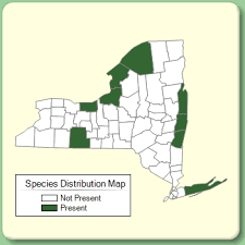 Najas guadalupensis - Species Page - NYFA: New York Flora Atlas