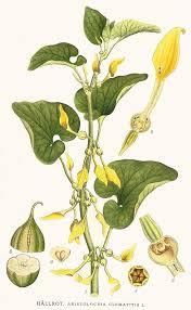 Aristolochia clematitis – Wikipédia, a enciclopédia livre