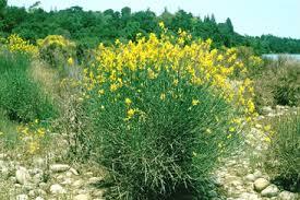 Species: Spartium junceum