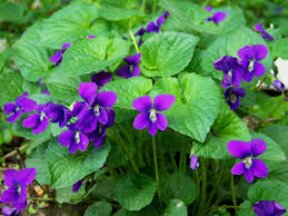 Image result for purple violets