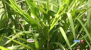 herbal plant uses its medicinal value of sirukurinjan keelanelli herbal plant uses its medicinal value of sirukurinjan keelanelli p dai poovali news7 tamil