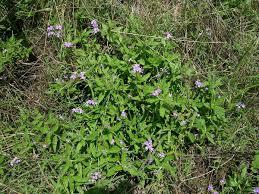 Heliotropium amplexicaule – Wikipédia, a enciclopédia livre