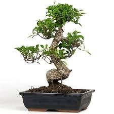taiwan ficus bonsai tree bonsai tree