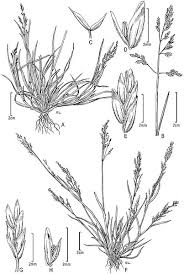 File:Poa annua and Poa infirma - PhytoKeys-015-001-g002.jpeg ...
