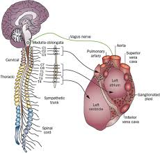 role of the autonomic nervous system in modulating cardiac figure