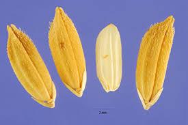 Plants Profile for Oryza sativa (rice)