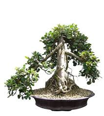 green island ficus bonsai tree 20 tall medium one of a kind bonsai bought bonsai tree