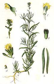 File:Linaria simplex Sturm26.jpg - Wikimedia Commons