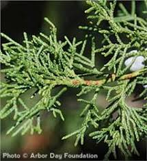 Image result for Red Cedar Tree