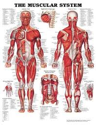 List of all <b>the muscles</b> - Functions of the Human <b>Body Systems</b>