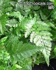 family davalliaceae