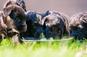Как правильно кормить сухим <b>кормом щенка</b>: какой сухой корм ...