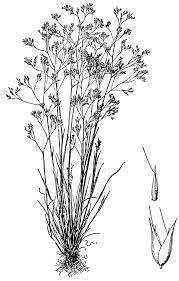 Aira caryophyllea — Wikipédia