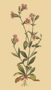 Silene pendula - Wikispecies