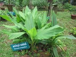 Curcuma aromatica