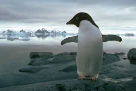 impacts of climate change discovering antarctica adelie penguin