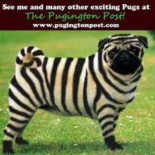 Pugs on Pinterest | Pug Humor, Pug Life and Pug Dogs via Relatably.com
