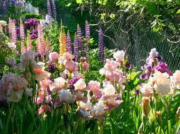 Ирис Pink Taffete (Пинк Таффетe) - фото, описание, цена | сад ...