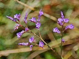Limonium narbonense - Wikipedia