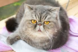 <b>Persian cats</b> at high risk of health problems