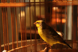 Image result for caged bird
