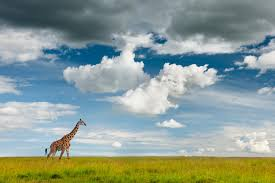 <b>Giraffes</b>, <b>Zebras</b> Face Surprising Top Threat: Hunting