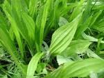 ribgrass