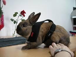 """Résultat de recherche d'images pour """"harnais lapin nain"""""""