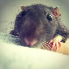 Image result for rat smells cheese