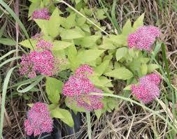 Spiraea japonica - Michigan Flora