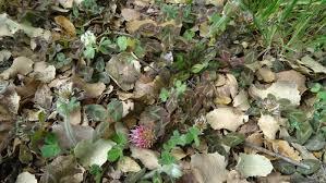Trifolium physodes · iNaturalist