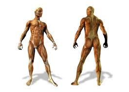 Resultado de imagen de muscle tendons and ligaments