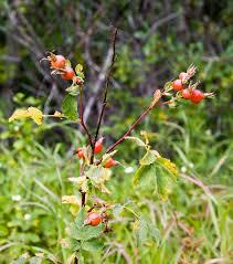 Rosa montana - Wikispecies