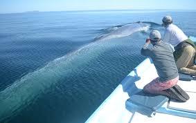 نتيجة بحث الصور عن blue whale