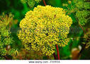 alliaceous plant