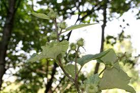 Arctium nemorosum - Wikispecies