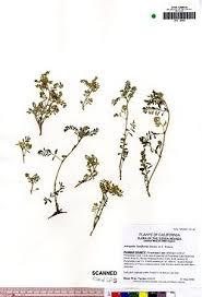 Astragalus lentiformis - Wikipedia