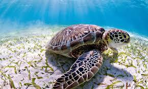 Sea <b>Turtle</b> | Species | WWF