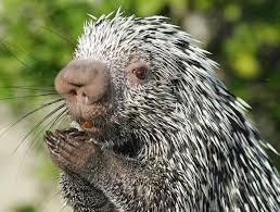 Image result for image porcupine