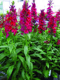Image result for lobelia
