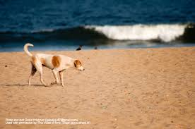 the voice of stray dogs stray dogs in n cities a photo marina beach chennai