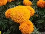 Images & Illustrations of big marigold