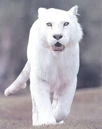 Binatang hutan, terutama macan putih yang tinggal di hutan Blumbang, pantang ditangkap atau dibunuh. Selanjutnya kuda yang tinggal di hutan Patuk Alap ... - 1052%25257Epure-white-tiger-posters_6hzg