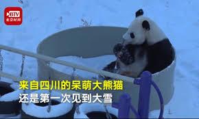 Southern-born <b>pandas love</b> snow - Global Times