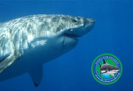 welcome to shark stewards official website shark stewards shark stewards mission is to restore ocean health by saving sharks from overfishing and the shark fin trade and protecting critical marine habitat through
