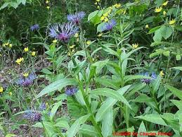 Centaurea montana - Michigan Flora