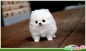 DailyCute.net - The Tiniest and Fluffiest of all Tiny Fluffy Dogs... via Relatably.com